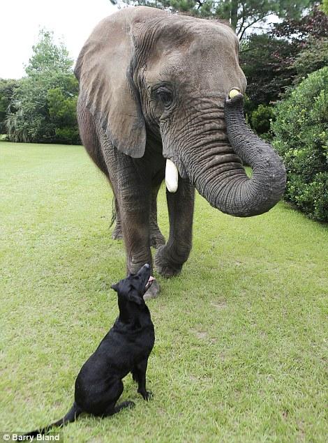 amitie-entre-un-elephant-et-un-labrador-7